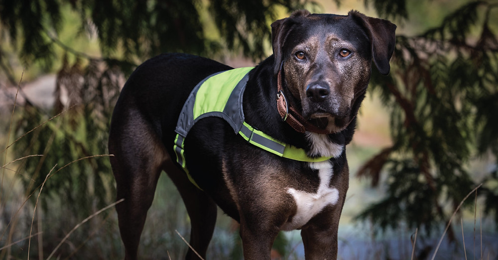 Dog wearing reflective vest and collar outdoors