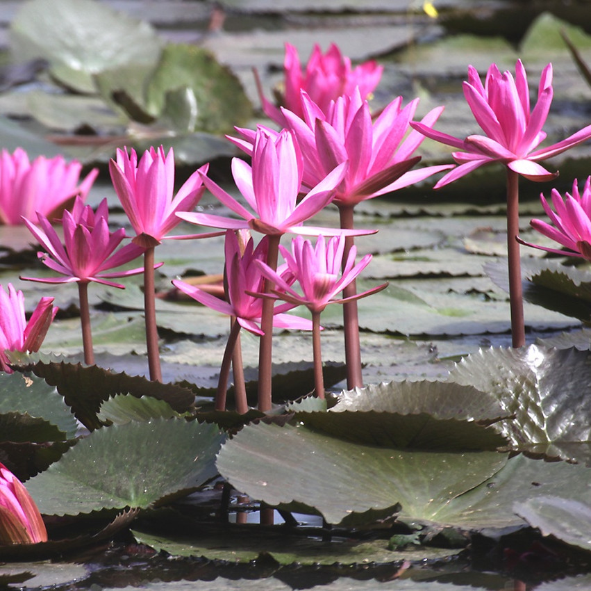 lotus van long