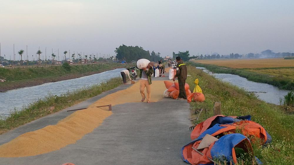 harvest rice ninh binh
