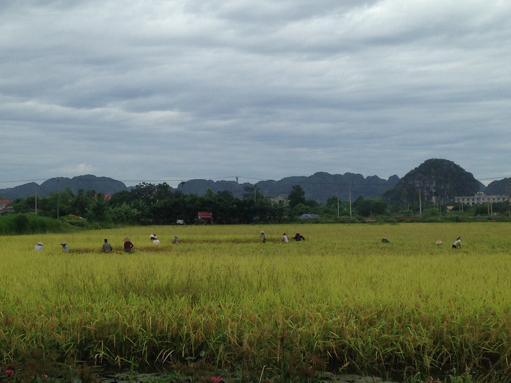 harvesting rice ninh binh