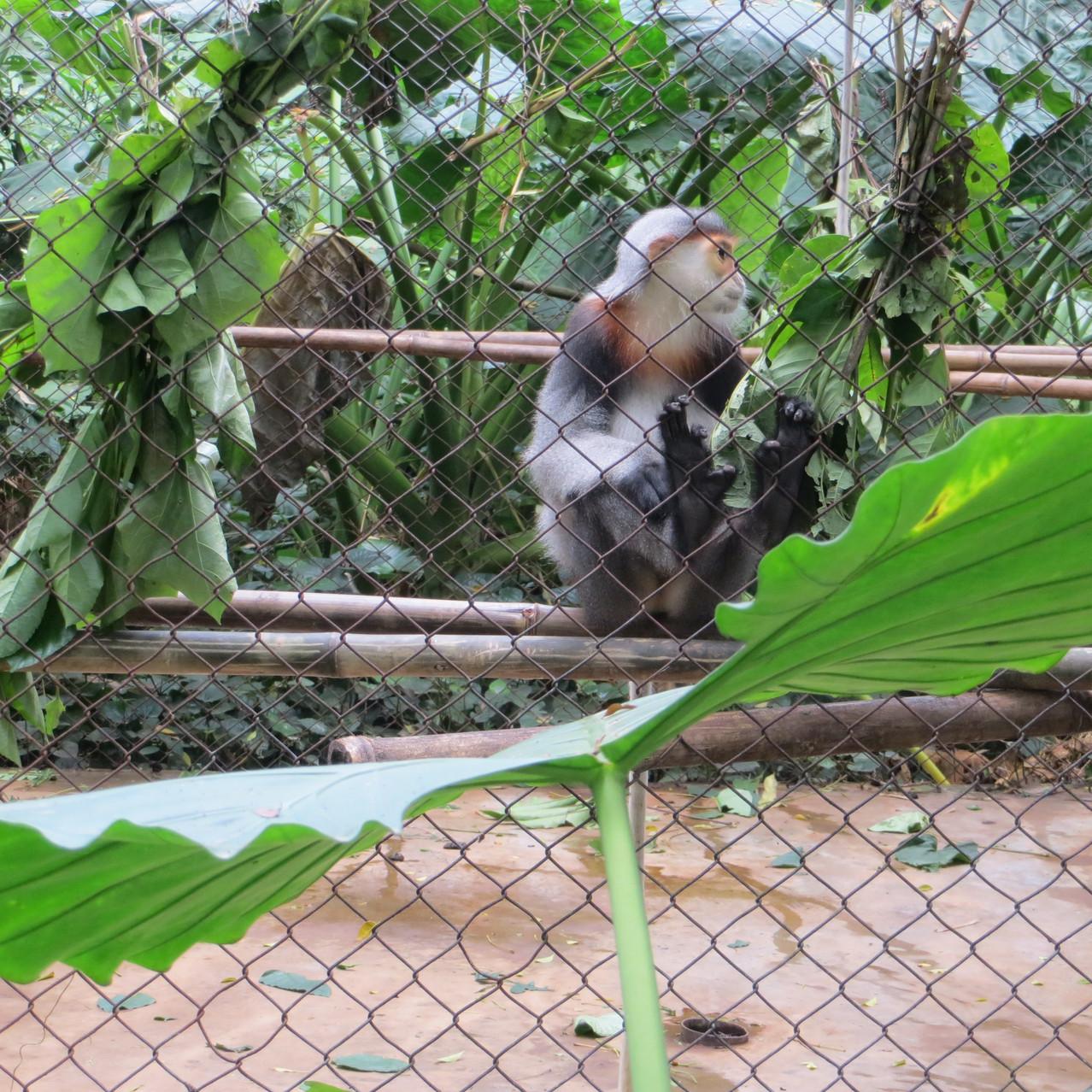Endangered Primate
