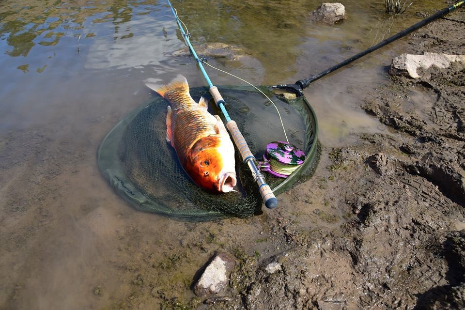Koi On the Fly - who would have guessed