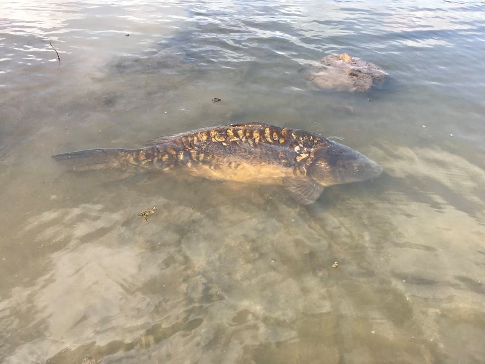 Fly Fishing for Carp in Gran Canaria with the Gouldfish Car'Poon
