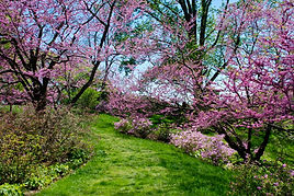 Winterthur's Redbuds and azaleas02.jpg