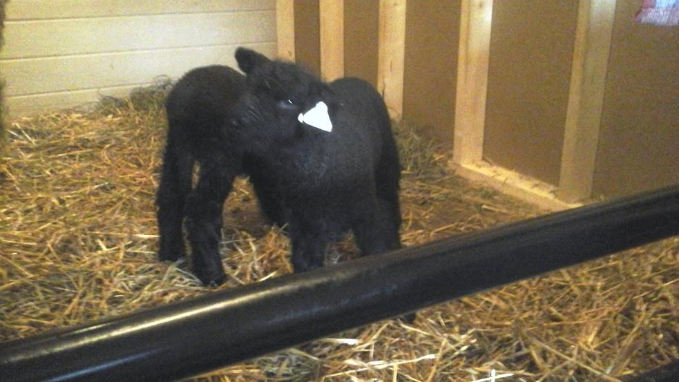 holly's lambs.jpg