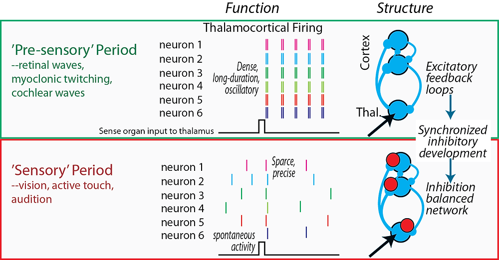 Pre-sensory vs Sensory stages of thalamocortical development