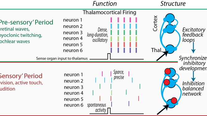 Early thalamocortical connections:  Just how different are they?