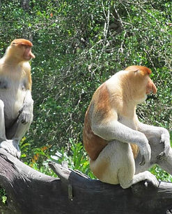 Labuk-Bay-proboscis-monkey-sanctuary-Bor
