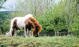 Shetland Pony - pastoral (1).JPG