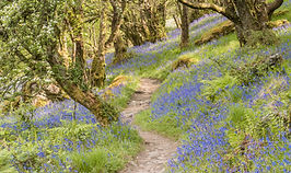 Bluebells and Hawthorns - Hillside .jpg