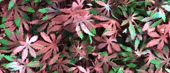 Maple Rojo