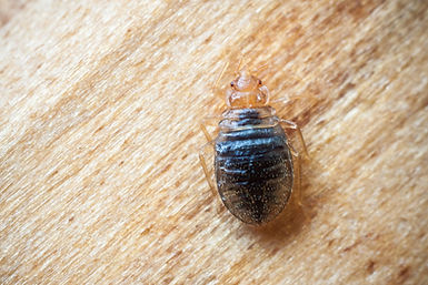 what-can-i-do-to-get-rid-of-bedbugs.jpeg