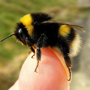 Bees, Bumblebees and The Dreaded Tree Bumblebee! The Law And What We Can Do!