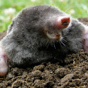 How to Detect and Get Rid of Moles in your Garden.