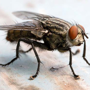 What To Do About Cluster Flies (Polleniarudis)
