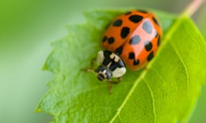 What To Do About Harlequin Ladybirds