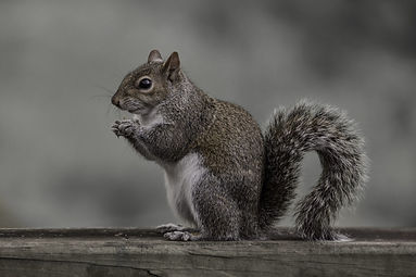 Picture-1-Eastern-gray-squirrel-scaled-e
