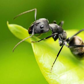Black Garden Ants AKA The Common Black Garden Ant (Lasius niger)