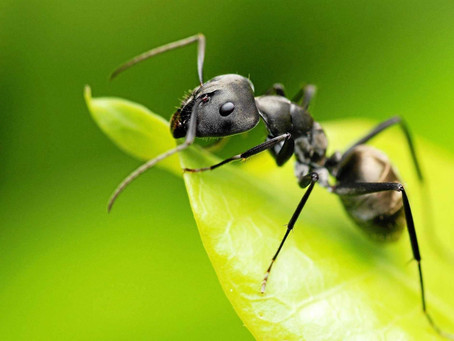 Black Garden Ants AKA The Common Black Garden Ant (Lasius niger)