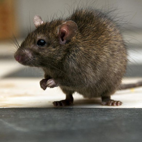 What is the difference between mice and rats?