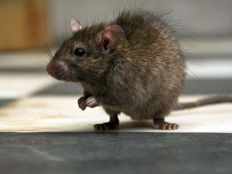 Protect Your Home From The Invasion Of Rodents In The Winter.