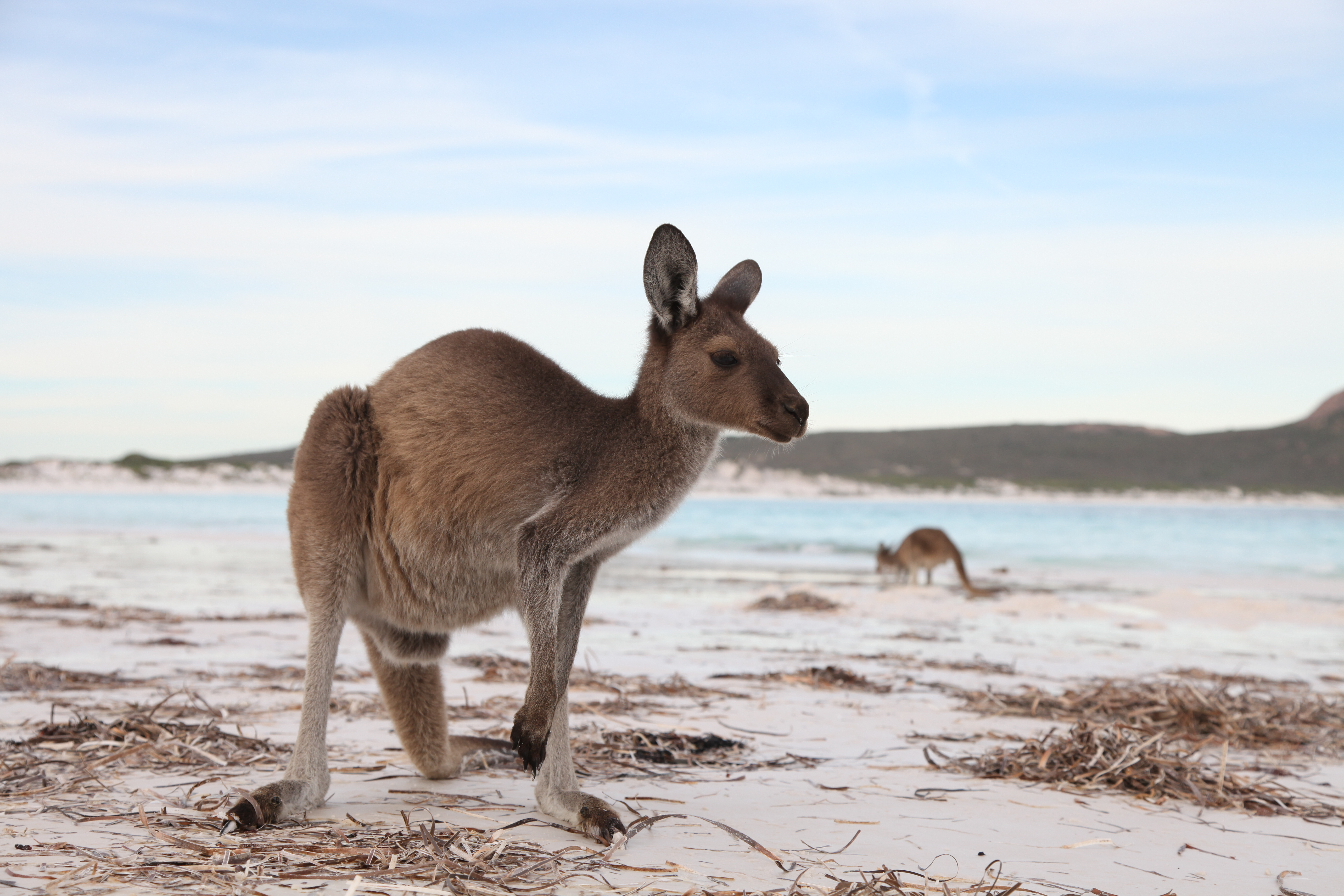 Meet the friendly Roos at Lucky bay