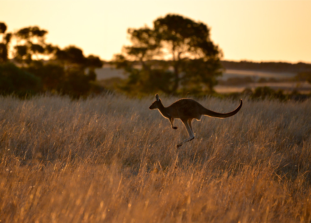 Roos at Sunset