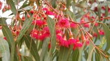 Eucalyptus leucoxylons