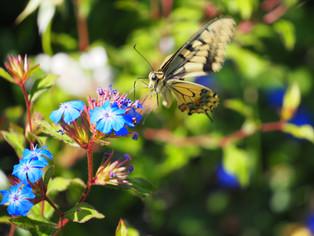 Bucacce-Vlinder1.jpg
