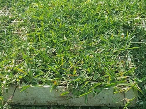Buffalo (Stenotaphrum secundatum) grass plugs