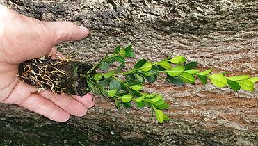 Carissa tree back.jpg