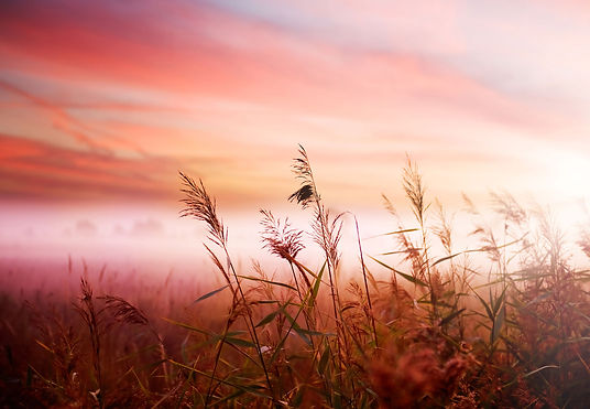 tall wheat blowing in breeze over pink and orange whispy clouds in background