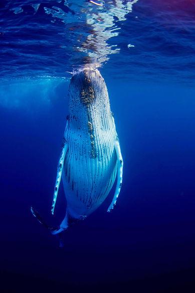 Humpback Whale by Joshua Barton - BlueOceanTrust Foundation