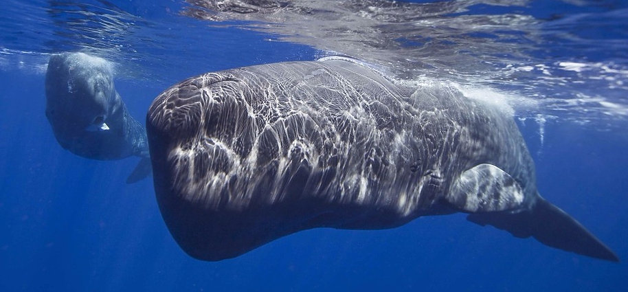 Sperm Whale mother & son by Patrick Dykstra BlueOceanTrust Foundation