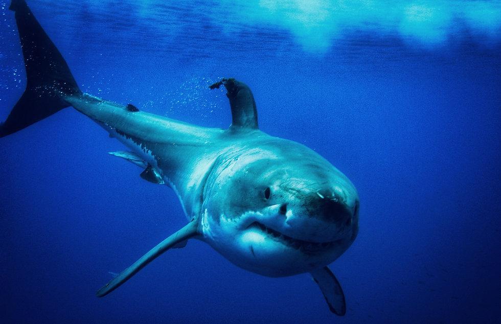 Great White Shark by Karim Benbouzyane BlueOceanTrust Foundation