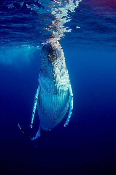 humpback whale by Joshua Barton BlueOceanTrust.jpg