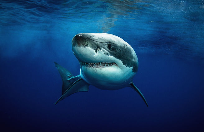 Great White Shark by BlueOceanTrust