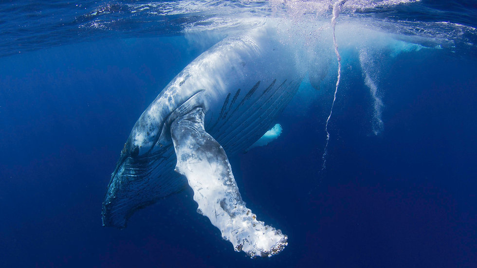 humpback Whale by Joshua Barton BlueOceanTrust Foundation.jp