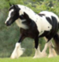Starbuck, Gypsy Vanner Stallion, Gypsy Vanner horse