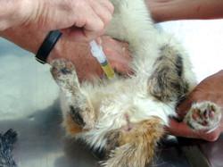 Sondeo uretral en gatos machos (técn