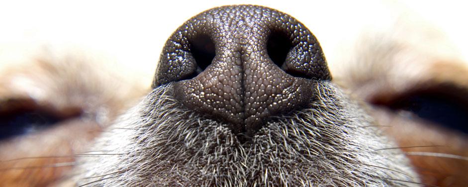 Perro detector de cáncer de próstata