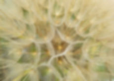 dandelion-1425776_1920.jpg