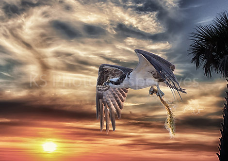 Osprey returning to the Nest by Kathryn Seguin Photography