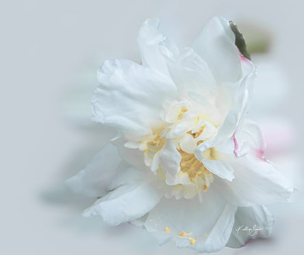 Camellia by Kathryn Seguin Photography