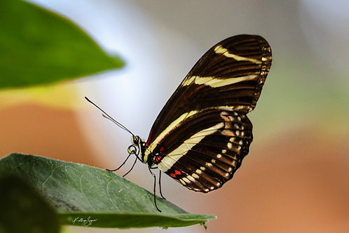 Zebra Butterfly on Metal by Kathryn Seguin Photography