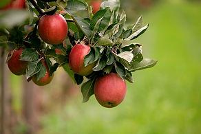 Apfel hängend am Baum