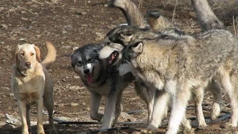 nyla wolves 2-24-09_edited_edited_edited_edited.jpg