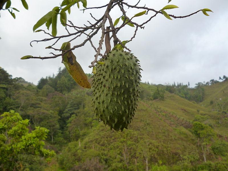 retreat_selva-armonia_guanabana-july_2016-fruit_guanabana_costa_rica