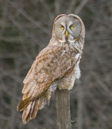 Grey Owl 2016