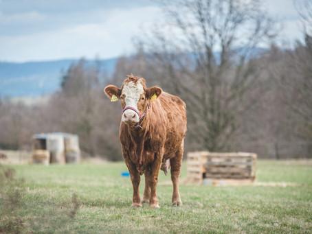 Sbírka na krávu Viktorku překročila 90 000 Kč